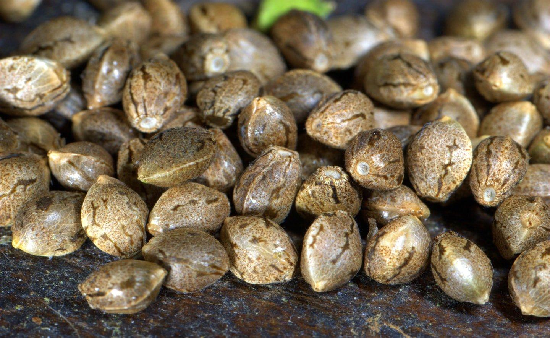 Сколько хранятся семена конопляные поле с марихуаной и медведи