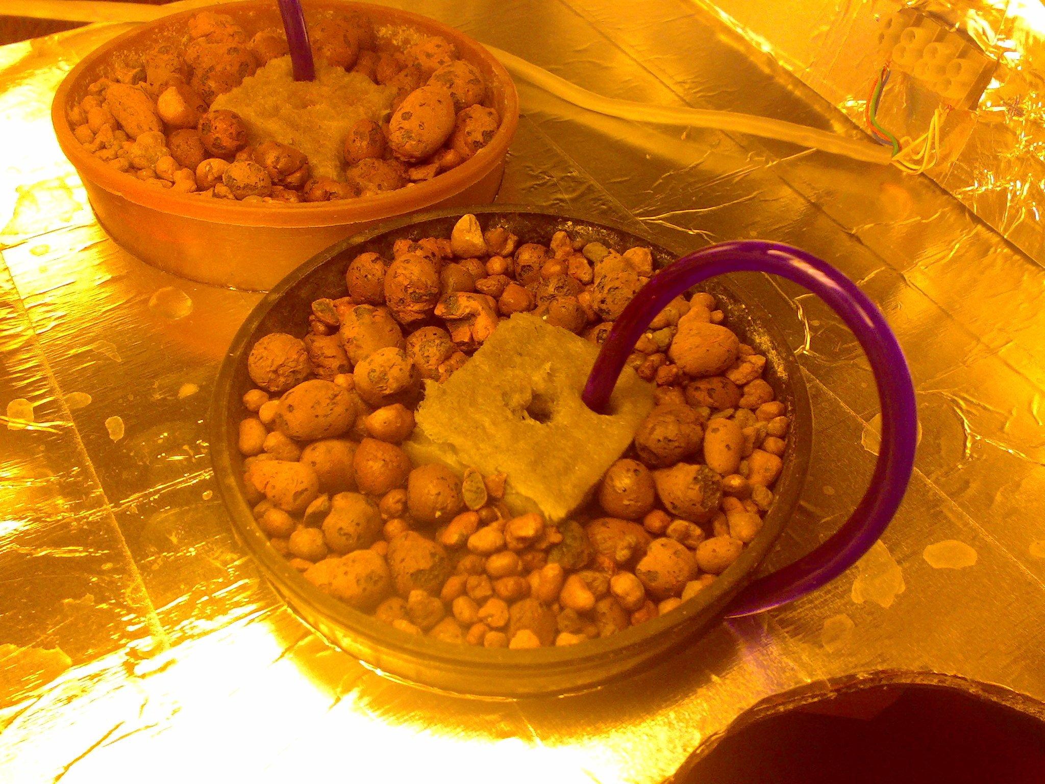 Проращивание семян конопли для гидропоники выращивание конопли фото