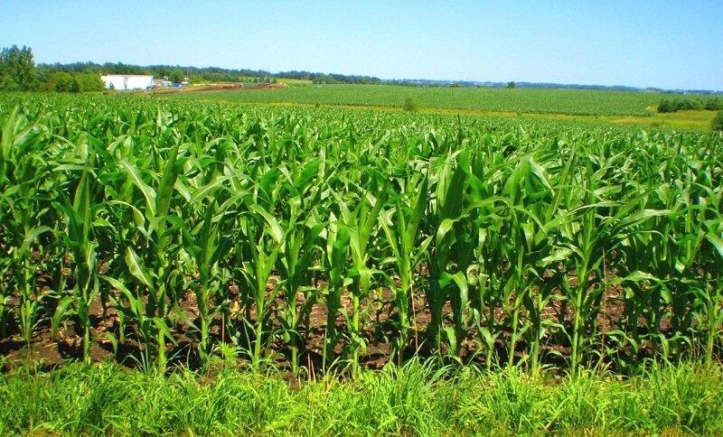 Как растет кукуруза технология выращивания и ухода агроклиматические условия