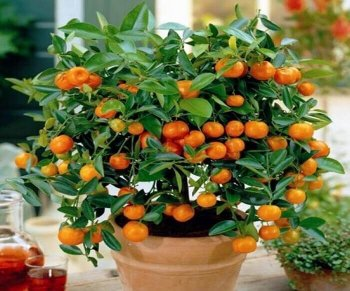 karlikovyj-mandarin.thumb.jpg.360299f71aeef7a3853942965701a39f.jpg